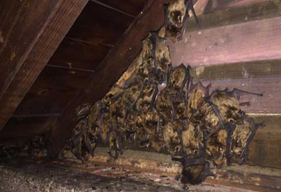 Bats In Attic Batpro Wildlife Pest Control Llc