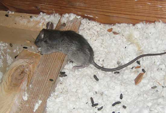 Effective rodent control (rats & mice) starts with some facts