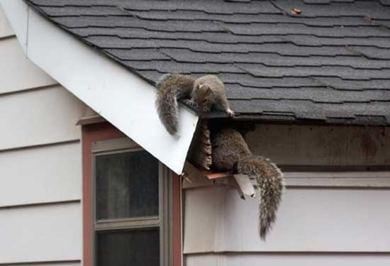 Squirrel Removal and Management
