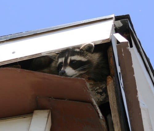 remove raccoons from your attic