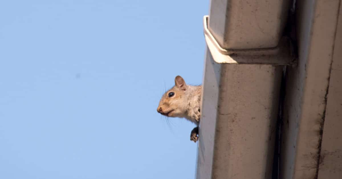 Squirrels in the Attic? Removal & Prevention