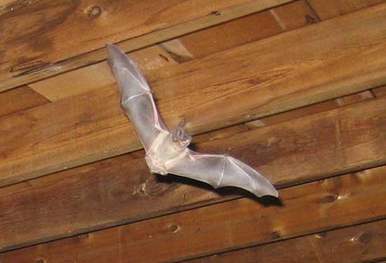 Bat Deterrent