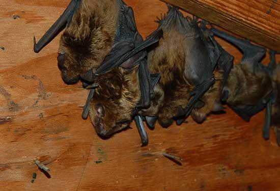 Get Rid of Bats